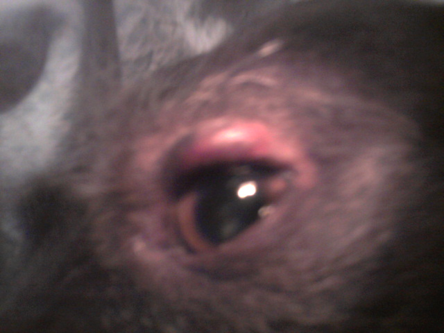 swollen above dog's eye