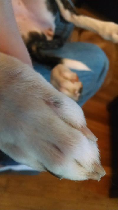 black spot on dog's toe