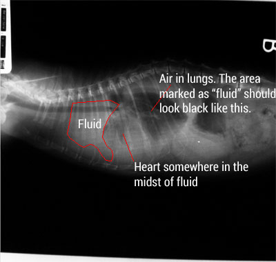 diagram of cat's chest with fluid xray