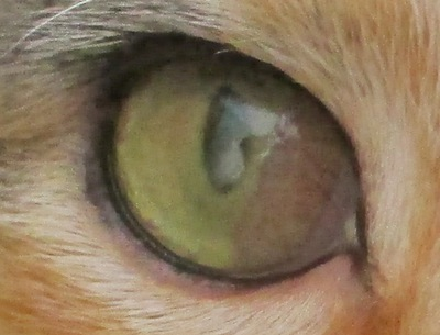 herpes or eosinophilic keratitis in a cat