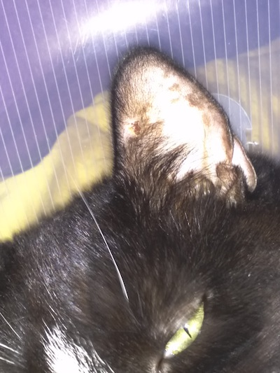 lesion on cat's ear