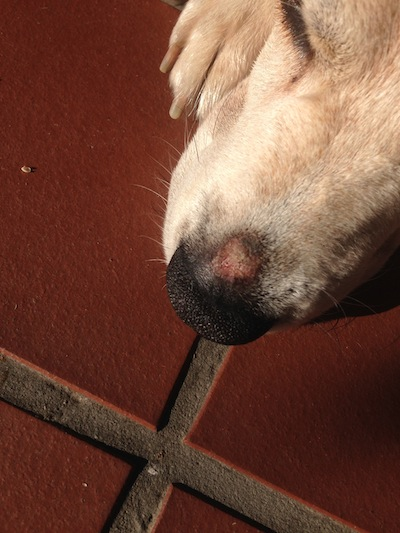 scab on dog's nose