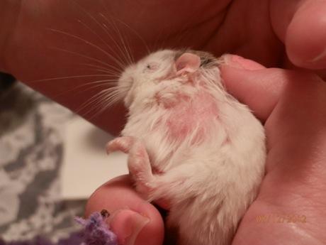 bald spots on hamster