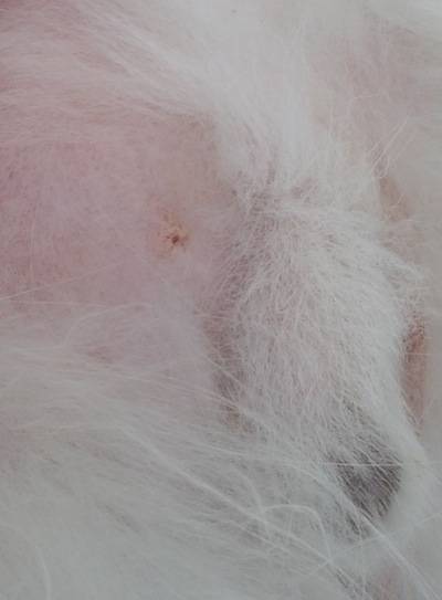 bump on dog's abdomen