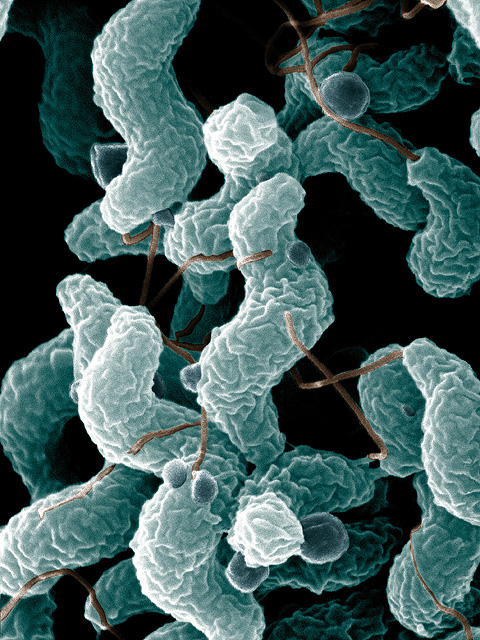 campylobacter in dogs and cats.