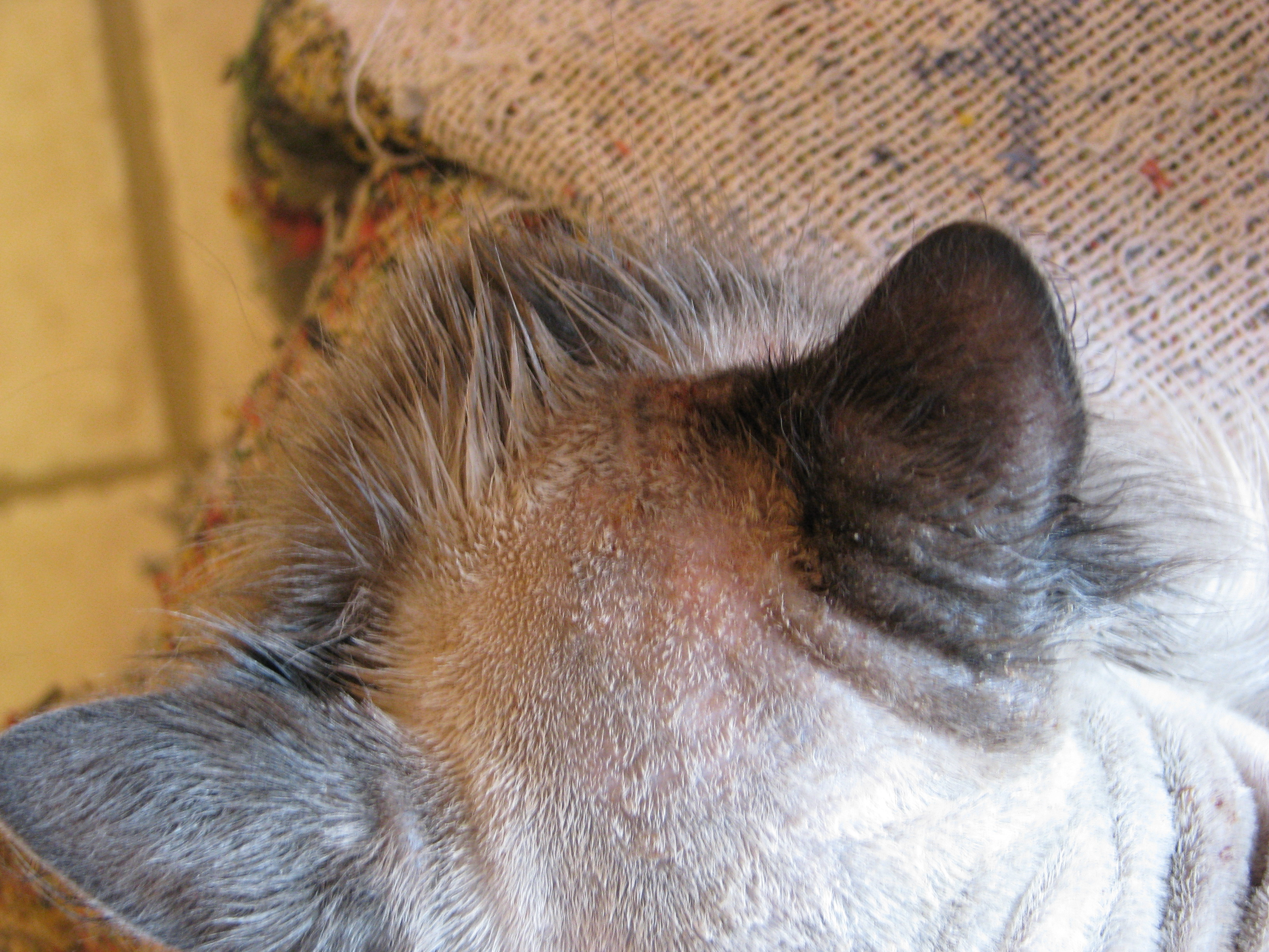 skin lesions on a cat