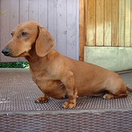 daschund