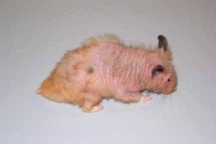 Cushing S Disease In Hamsters Symptoms Diagnosis