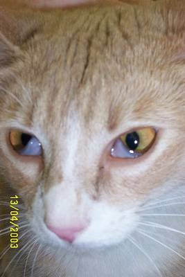 third eyelids on a cat