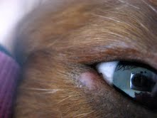 stye in dog's eye