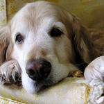 older Golden Retriever