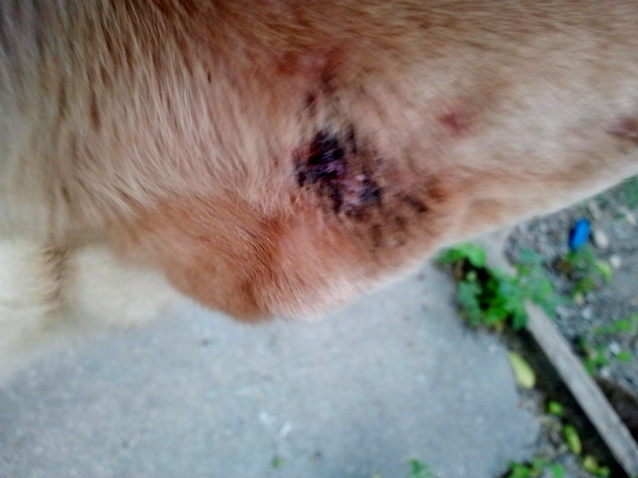 scabs on dog's ear