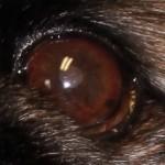 corneal ulcer healing