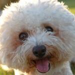 hypoallergenic dog?