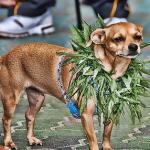 Marijuana Dog