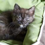 Kitten URTI